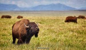 Teton-bison