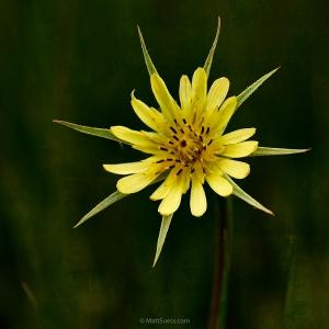 Teton-star-flower